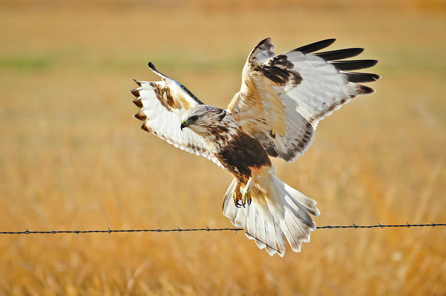 Rough Legged Hawk taking flight fine art nature rrints