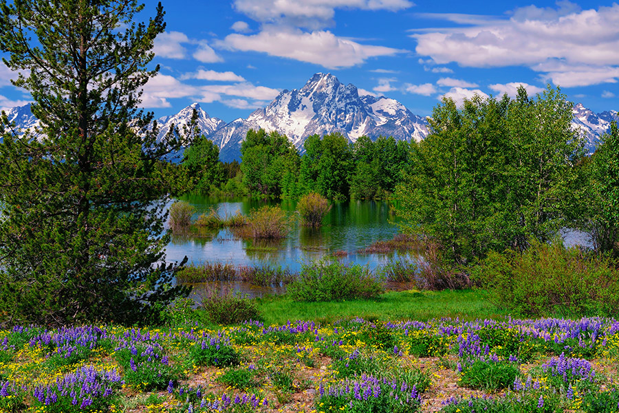 Mount Moran with a foreground of spring wildflowers in Grand Teton National Park