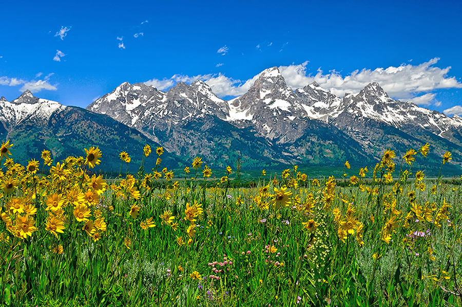 Spring wildflowers bloom beneath the towering peaks of Grand Teton National Park