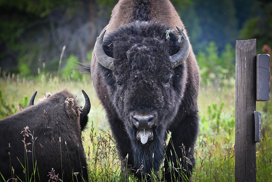 Yellowstone Angry Bison fine art nature prints