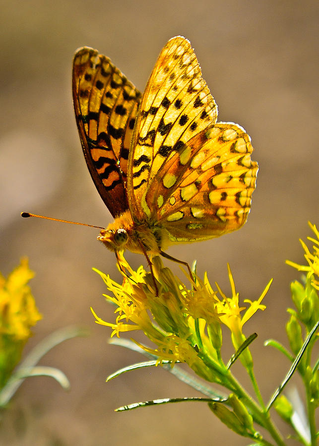 Yellowstone Backcountry Butterfly fine art nature prints