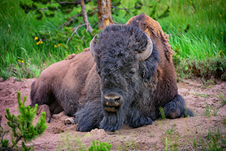 Yellowstone Bison Portrait fine art nature prints