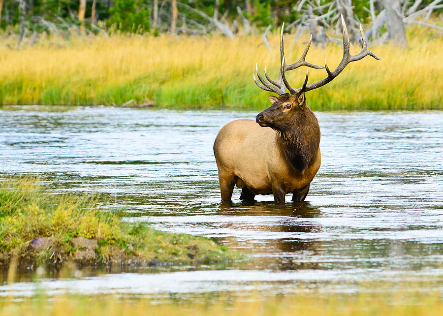 Bull Elk in the Madison River fine art nature prints