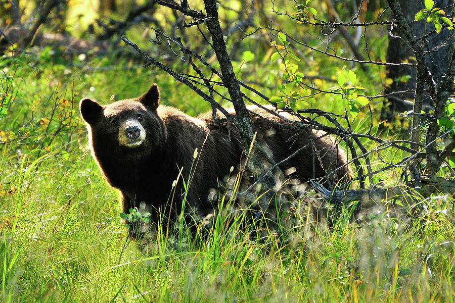Inquisitive Bear fine art nature prints