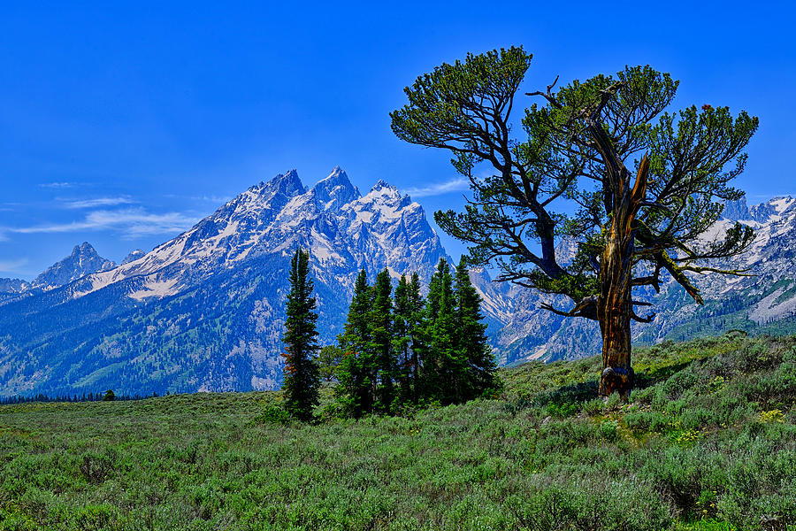 Patriarch Tree in Grand Teton National Park fine art nature prints
