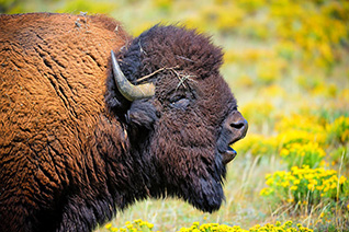 Bison Bull fine art nature prints