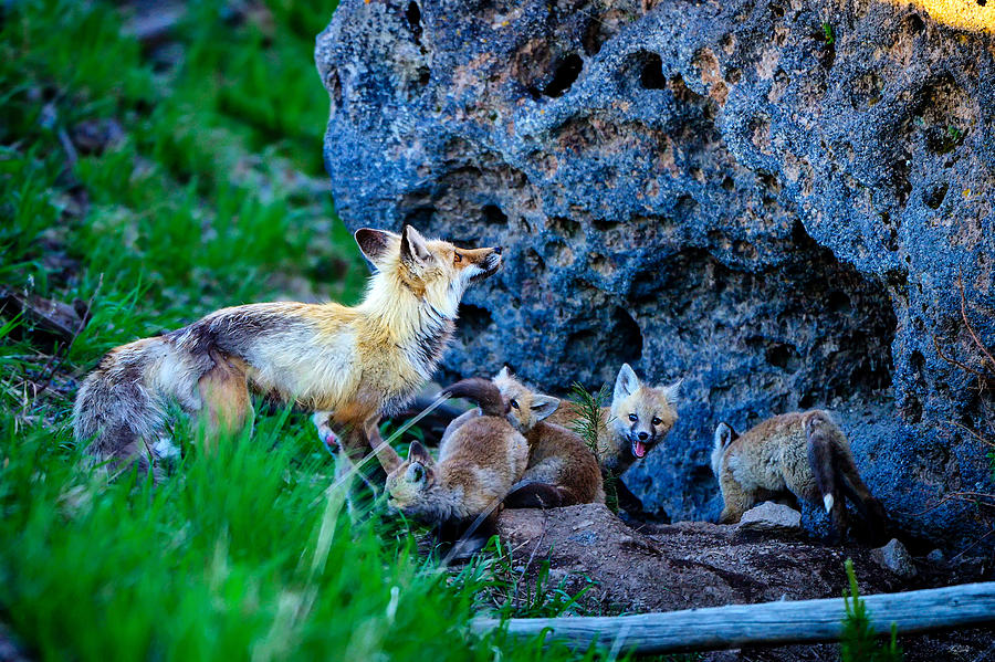 Vixen with a litter of kits in Yellowstone National Park