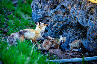 Vixen and kits fine art nature prints