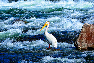 LeHardy Rapids Pelican fine art nature prints