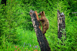 Yellowstone Black Bear fine art nature prints