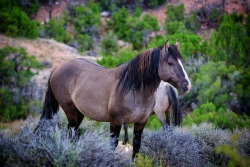 Pryor Mountain Wild Horse Limited Edition
