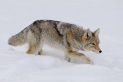Winter Prowl
