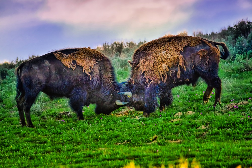 Yellowstone Bison Locking Horns Limited Edition
