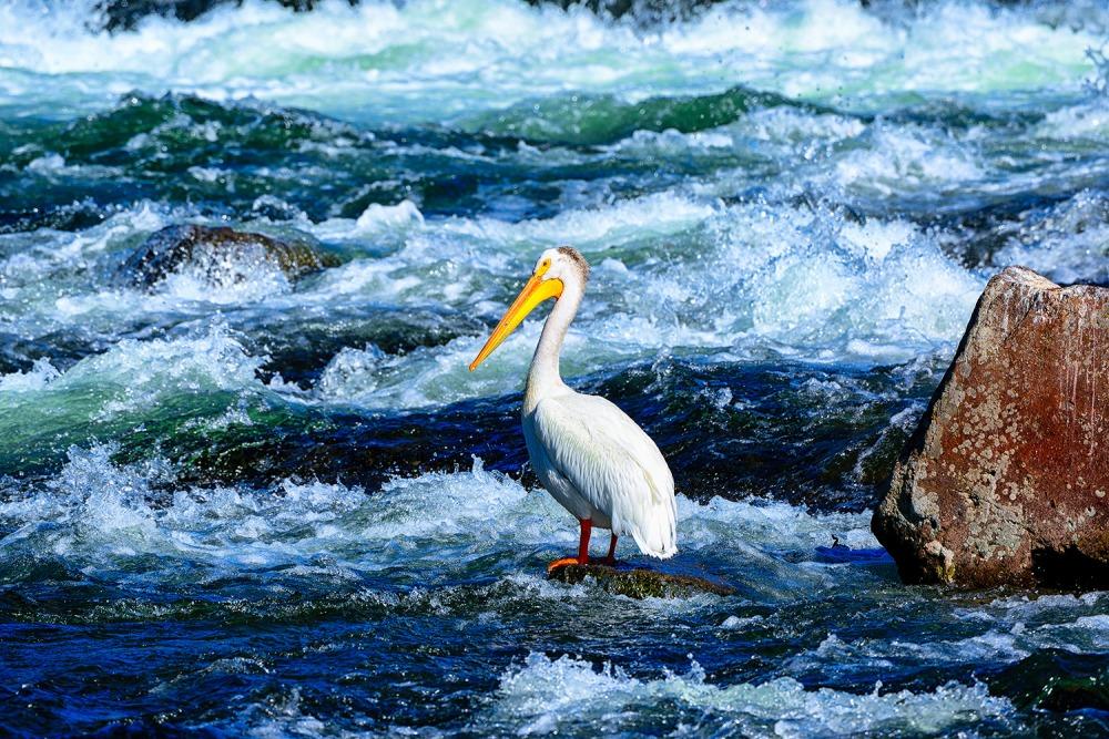 Yellowstone LeHardy Rapids Pelican Limited Edition