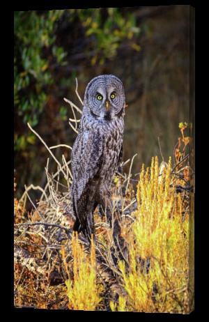 Grea Grey Owl Canvas Print