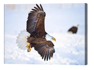 Bald Eagle Landing Canvas Print