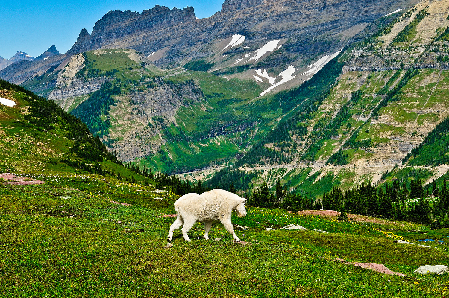 Logan Pass Mountain Goat