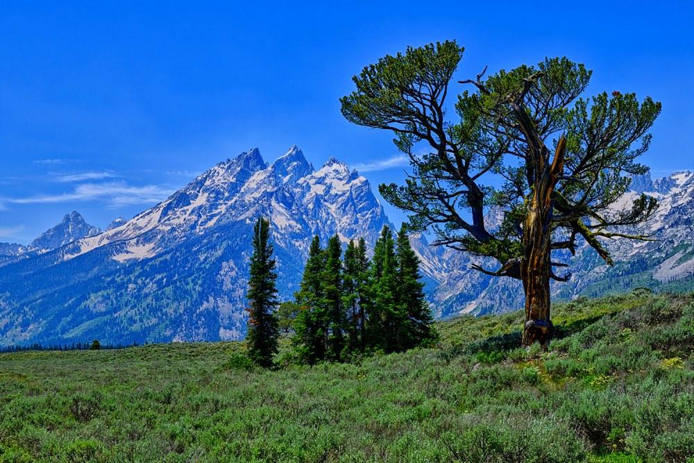 Patriarch Tree