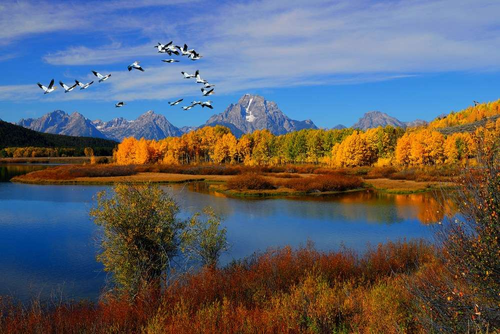 Pelicans Over Oxbow Bend