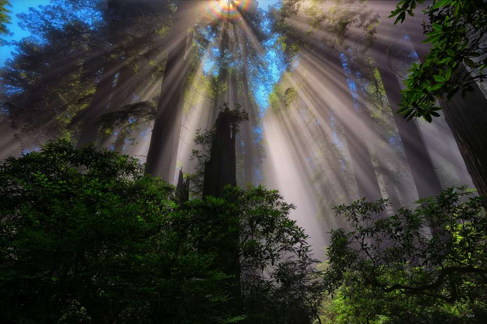 Redwood Sunbeams