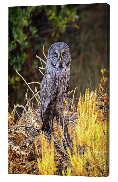 Grea Grey Owl Canvas Print