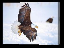 Bald Eagle Landing Canvas Print