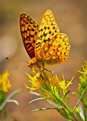 Backcountry Butterfly