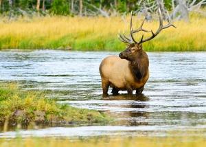 Bull Elk in the Madison
