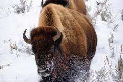Yellowstone Winter Run