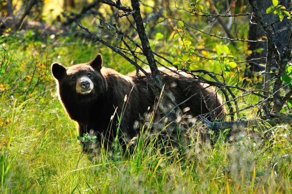 Inquisitive Bear