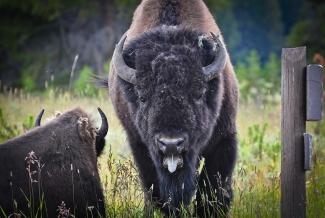 Angry Bison
