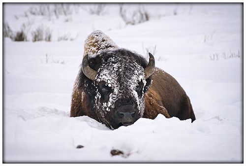Yellowstone bison with snow mask